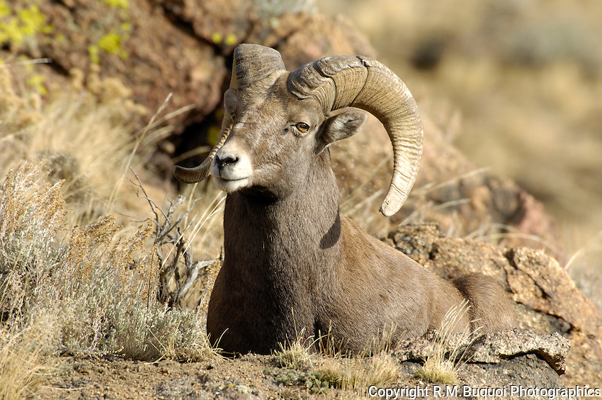 Bighorn Sheep, Ram