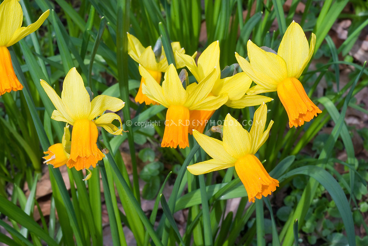 Narcissus 'Jetfire' daffodil, miniature yellow flowers with orange cups, division 6 cyclamineus group of spring flowering bulbs, reflexed petals, early mid-season bloom