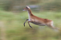 Red lechwe jumping, blurred motion, Botswana, AFrica