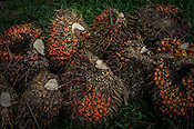 Harvested oil palm fruits on a palm plantation in North Sumatra, Indonesia. Photo: Sanjit Das/Panos