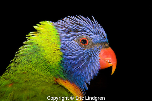 Close up a rainbow Lorikeet reveals the beauty of an unusual combination of colours - blue, green, yellow, orange. The iris, a narrow brown ring surrounding the pupil and bright orange-red around this, is used in mating and threat displays.  // Rainbow Lorikeet - Psittacidae: Trichoglossus haematodus. Length to 30cm; wingspan to 45cm; weight to 150g; Found in northern and eastern Australia from the Kimberley Region in northern Western Australia (Red-collared Lorikeet, T. h. rubritorquis) to eastern Siouth Australia. Occurs in forests, woodlands, heath, and rural and urban areas. Aviary-escapees are established in many towns and cities. Widespread with many subpsecies - often with a different name - from eastern Indonesia through New Guinea east to Vanuatu and New Caledonia, north to the Philippine Islands.