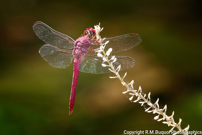 Roseate Skimmer Dragonfly