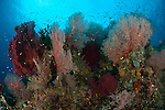 Reef scape in Raja Ampat, covered in Gorgonians, West Papua, Indonesia