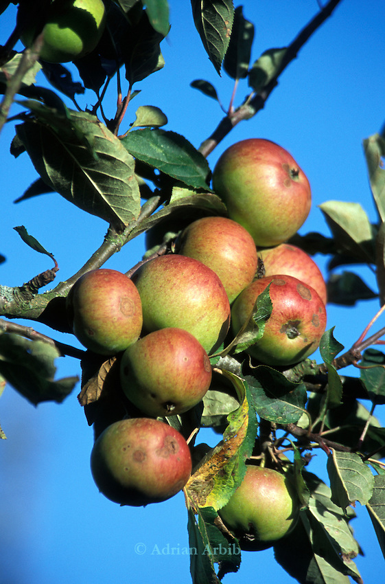 Kingston Black apples growing at the   Cider Brandy Company in Kingsbury Episcopi .