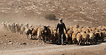 A Palestinian Bedouin man leads a herd of sheep in the Jordan valley village of Makhoul September 30, 2013. Israel's army on Monday declared the Jordan Valley village of Makhoul a closed military area to prevent Palestinian and international activists to visit the area to show solidarity with residents of Makhoul, who were forcibly displaced after Israel demolished their village in the northern Jordan Valley on Sept. 16, a local council official said. Photo by Issam Rimawi
