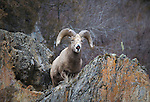 Bighorn Sheep ram lip curling on rocky cliff side in Montana