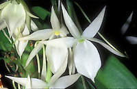 Angraecum leonis Orchid species