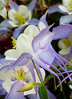 Columbine flowers, Aquilegia x caerulia 'Origami' - Blue and White, annual flower