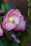 Camellia, Camellia japonica 'DR TINSLEY',  at Mercer Arboretum and Botanical Gardens in Spring, Texas.