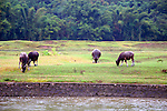Asia, China, Guangxi, Guilin, Li River. Water oxen grace the scenery of the Li JIang river cruise.