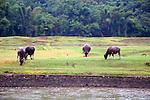 Asia, China, Guangxi, Guilin, Li River. Water oxen grace the scenery of the Li JIang river cruise.