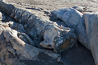 Nearly four months after it was first spotted, a dead blue whale carcass at Bean Hollow State Beach on the California coast south of San Francisco.