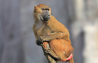 Female Guinea Baboon (Papio papio), sitting on top of a tree stump on look-out, in the Zone Sahel-Soudan of the new Parc Zoologique de Paris or Zoo de Vincennes, (Zoological Gardens of Paris or Vincennes Zoo), which reopened April 2014, part of the Musee National d'Histoire Naturelle (National Museum of Natural History), 12th arrondissement, Paris, France. Picture by Manuel Cohen