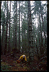 chef Jack Czarnecki harvesting wild chanterelles in the Oregon Coast Range near Dayton, Oregon, home to his restaurant The Joel Palmer House