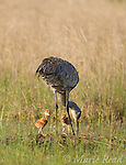 Sandhill Cranes (Grus canadensis) (Florida race), adult with two small chicks at nest in wetland, near Kissimmee, Florida, USA