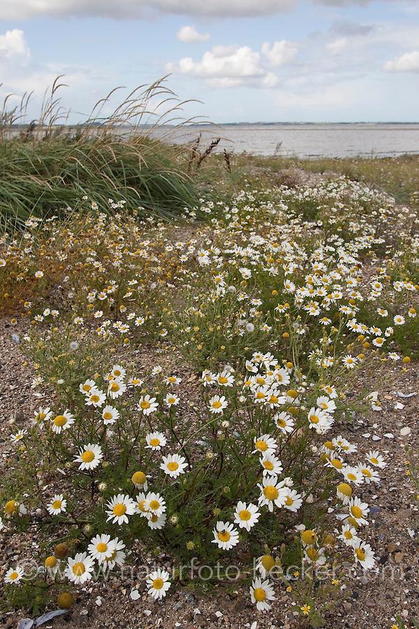 Strand-Kamille, Strandkamille, Küsten-Kamille, Kamille, Tripleurospermum maritimum, Matricaria maritima, Sea Mayweed
