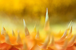 close-up of an orange / yellow strawflower  -commercial/editorial licensing for this image is available through: http://www.gettyimages.com/detail/200250587-001/The-Image-Bank