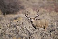 Wyoming trophy mule deer buck during autumn rut (Odocoileus hemionus)