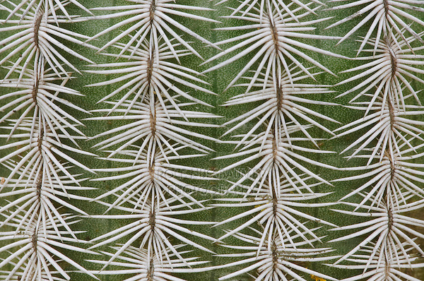 Lace Cactus, Echinocereus reichenbachii, thorns, Uvalde County, Hill Country, Texas, USA