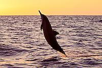 A jumping Hawaiian spinner dolphin (Stenella longirostris) at sunset, Kona, Big Island.