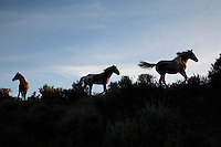 Mustangs flee across a ridge in the South Steens Herd Management Area in Oregon.<br />