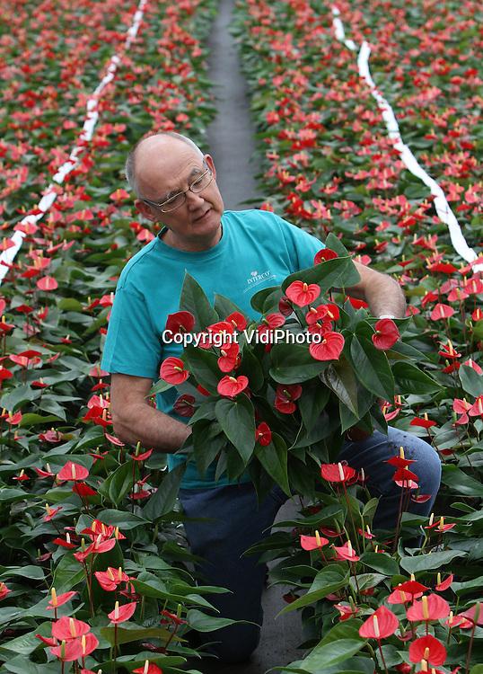 Foto: VidiPhoto..RESSEN - Topdrukte donderdag bij anthuriumkweker Jan van Gellecum uit Ressen in de Betuwe. De potanthurium met zijn hartvormige bloem, is een van de meest populaire cadeaus voor moederdag. De planten worden nu massaal ingeslagen door het grote publiek. Een belangrijk deel van de omzet bij Van Gellecum komt van de weken rond moederdag. Per jaar verwerkt de kweker uit Ressen zo'n 200.000 potanthuriums.