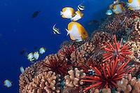 Slate pencil sea urchins, Heterocentrotus mammillatus, color the foreground of this Hawaiian reef scene with pyramid butterflyfish, Hemitaurichthys polylepis.  Hawaii.
