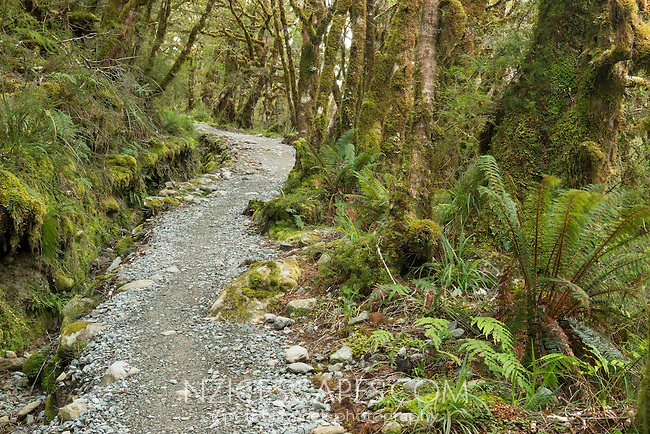 Hiking track through rainforest on Routeburn Track, Fiordland National Park, Southland, South Island, World Heritage Area, New Zealand
