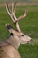 Elk resting
