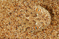 Head of a Peringueys Sidewinding Adder emerging from a sand dune (Bitis peringueyi), Namib Desert, Namibia.