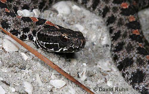 1230-0907  Dusky Pygmy Rattlesnake, Sistrurus miliarius barbouri  © David Kuhn/Dwight Kuhn Photography