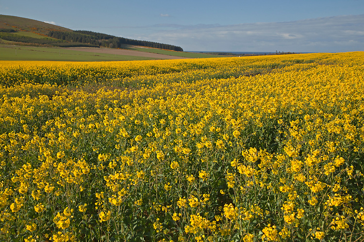 Field of blooming canola in spring near outside of Portsoy, Aberdeenshire, Scotland, United Kingdom