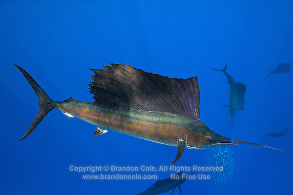 qh0649-D. Atlantic Sailfish (Istiophorus albicans) feeding on sardines. Some consider this the same species as the Indo-Pacific Sailfish (I. platypterus). Mexico, Gulf of Mexico..Photo Copyright © Brandon Cole. All rights reserved worldwide.  www.brandoncole.com..This photo is NOT free. It is NOT in the public domain. This photo is a Copyrighted Work, registered with the US Copyright Office. .Rights to reproduction of photograph granted only upon payment in full of agreed upon licensing fee. Any use of this photo prior to such payment is an infringement of copyright and punishable by fines up to  $150,000 USD...Brandon Cole.MARINE PHOTOGRAPHY.http://www.brandoncole.com.email: brandoncole@msn.com.4917 N. Boeing Rd..Spokane Valley, WA  99206  USA.tel: 509-535-3489