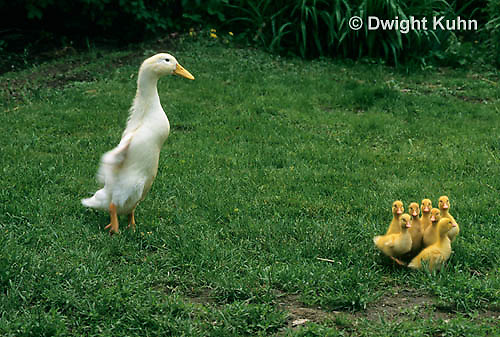 DG20-100z  Pekin Duck - six day old ducklings with mother