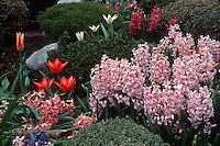Spring Bulbs Tulips &amp; Hyacinths in pink, red and white planting together