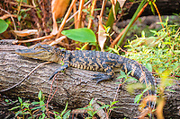 This young alligator is probably close to its first birthday judging by the size and yellow banding on the tail and body. At this stage, it is no longer hunted by storks, herons, and raccoons and before long they will in turn become the prey. This clearly well-fed youngster was found sunning in the Fakahatchee Strand in Collier County, Fl.