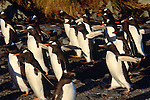 Gentoo penguins, Falkland Islands