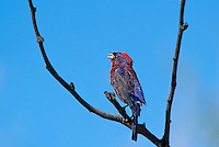 510750006 a wild male varied bunting sings or vocalizes while perched in a dead tree in the madera grasslands near madera canyon pima county arizona united states