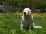 Golden Retriever enjoying a bath at the back yard