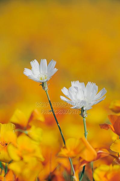 Desert Chicory (Rafinesquia neomexicana), Mexican Gold Poppy (Eschscholzia californica mexicana), blooming, Organ Pipe Cactus National Monument, Arizona, USA