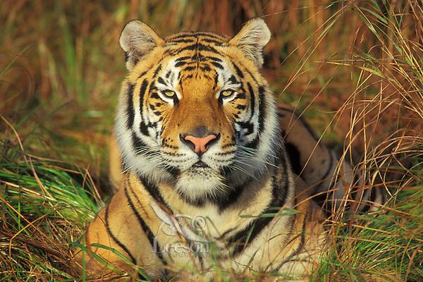 tiger species