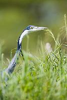 Heron, Serengeti National Park, Tanzania, East Africa
