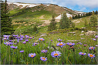 Near 12,000 feet along Berthoud Pass and the Continental Divide, These purple Colorado wildflowers, Asters, I believe, enjoyed the morning light after a night of heavy rain. My shoes and socks were soaked after hiking up through this area to photograph the flowers and landscape, and though I did not take many images, I did like the color in these offerings.