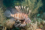 Gardens of the Queen, Cuba; a Common Lionfish swimming over a Caribbean coral reef