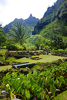 A couple walks by terraced 700 year old rock walls near a lush green lo'i pond (taro or kalo--- species colocasia esculenta), a sacred Native Hawaiian plant and food source. Photographed at Limahuli Gardens, on Kauai's majestic north shore. One of t