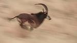 Sable Antelope, Kalahari Desert, South Africa