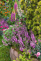Mixed late spring / early summer  raised bed garden of tall vertical perennial plants of Digitalis foxglove, Alchemilla lady's mantle, Dianthus scented fragrant flowers, Salvia, Astrantia, Anchusa blue flowers, yew shrub for variety of texture, heights, shapes in flowering garden bed border combination in pink, purple, blue, yellow, red, green, orange mixture of colors