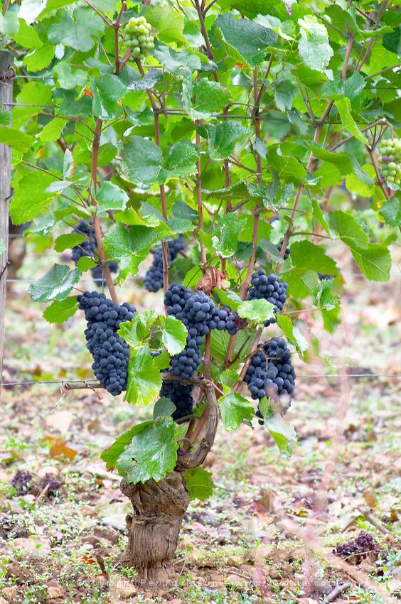 pinot noir domaine comte senard aloxe-corton cote de beaune burgundy france