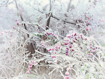 Covered with ice shrub branches and berries, abstract closeup frozen nature scenery