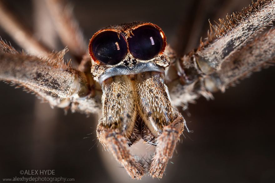 Close up of head of Ogre faced / Net-casting spider {Deinopis sp} showing the huge pair of eyes that enable it to hunt at night. Masoala Peninsula National Park, north east Madagascar.